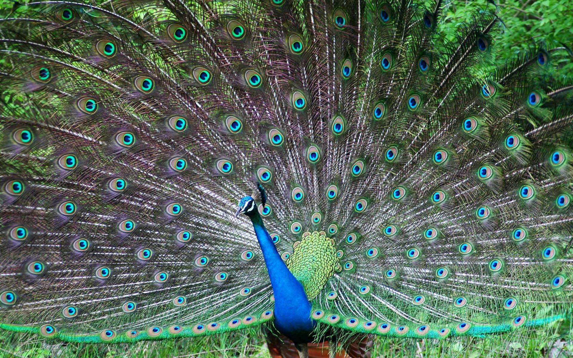 Peacock Feather Desktop Wallpaper Wallpapers Of Peacock ...
