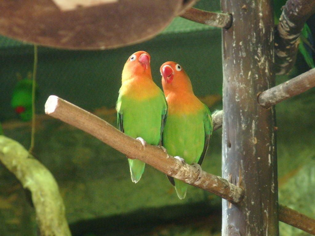 Love Bird Lutino Wallpaper