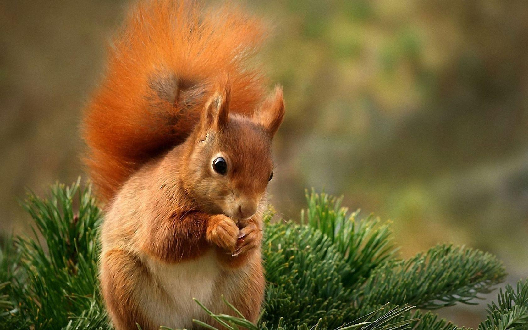 Squirrel HD Wallpaper | Squirrel Backgrounds Pictures | New Wallpapers