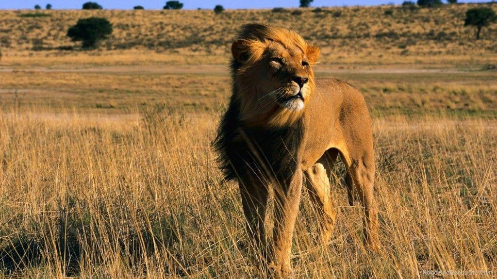 Latest Lion King Male Africa Animal Cat Wallpaper : Desktopaper ...