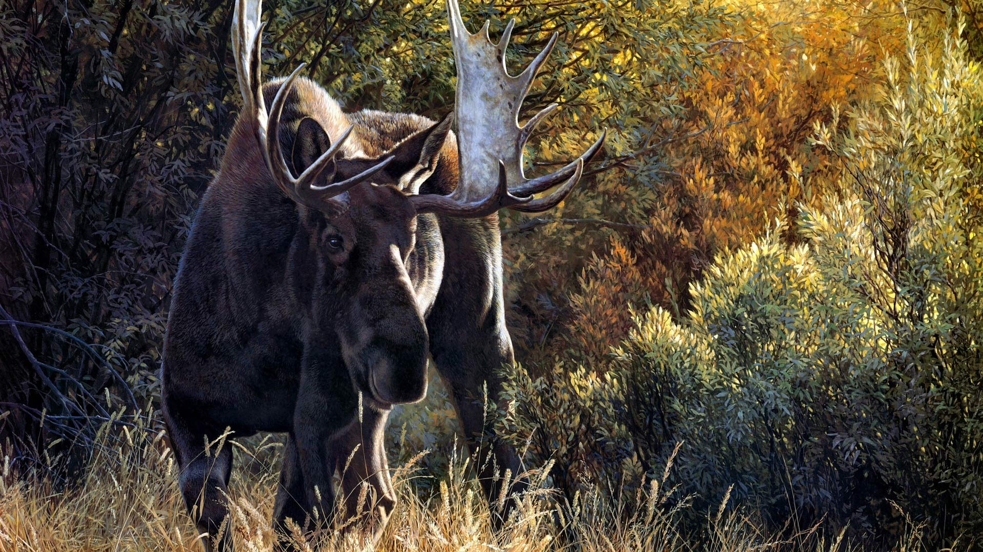 moose hd wallpaper - photo #1