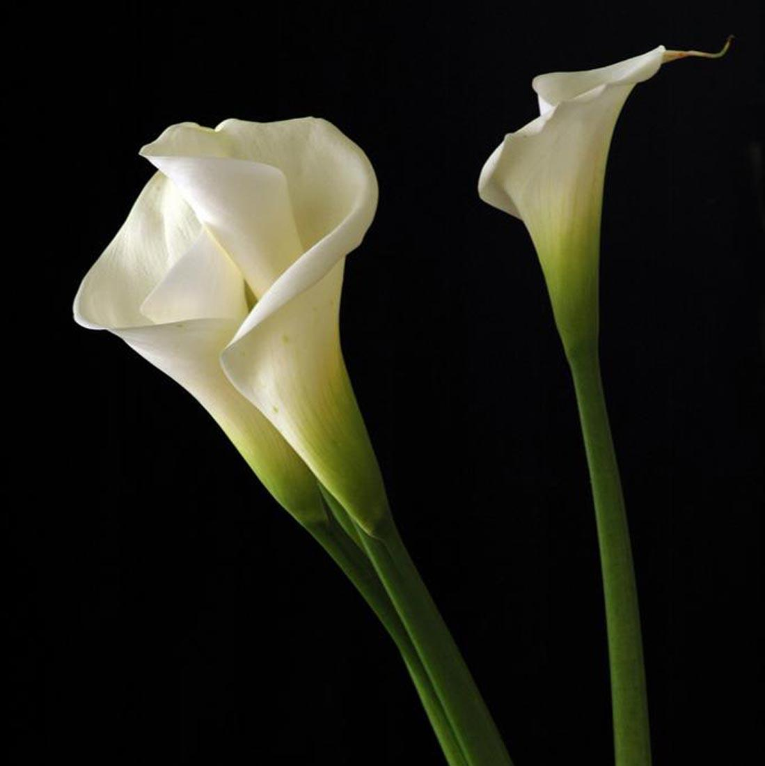 Calla Lily Wallpapers Wallpaper Cave