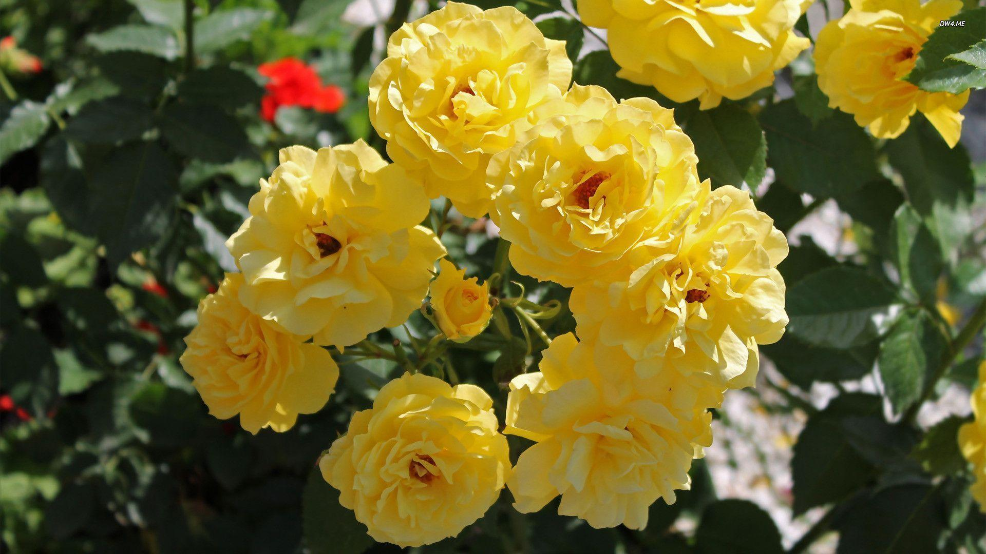 wallpaper of yellow roses - photo #31