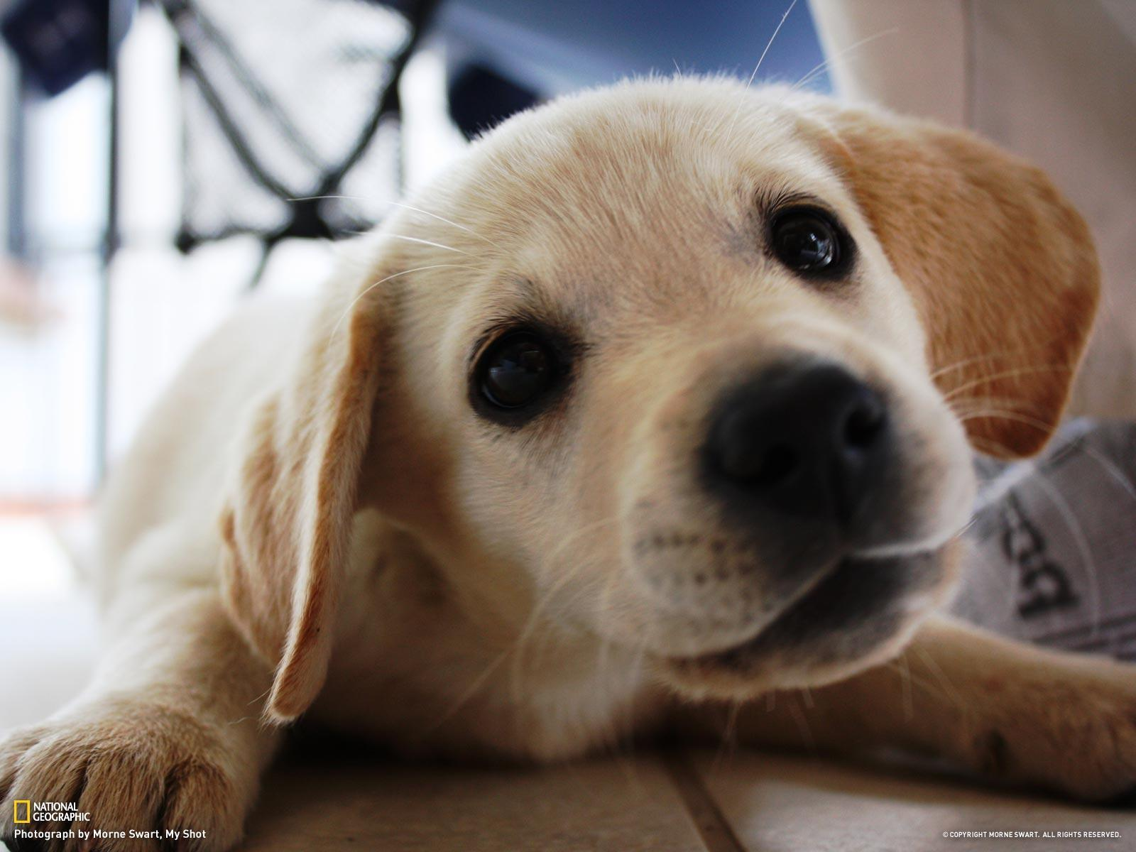 yellow lab puppy wallpaper - photo #10