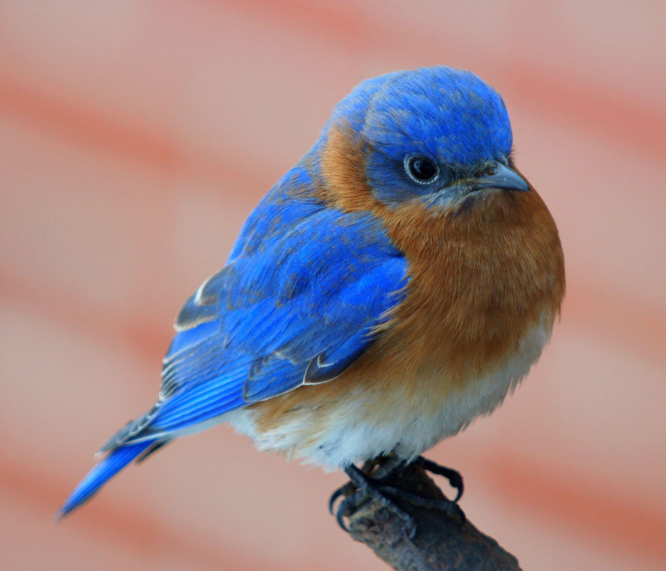 bluebird wallpapers wallpaper cave
