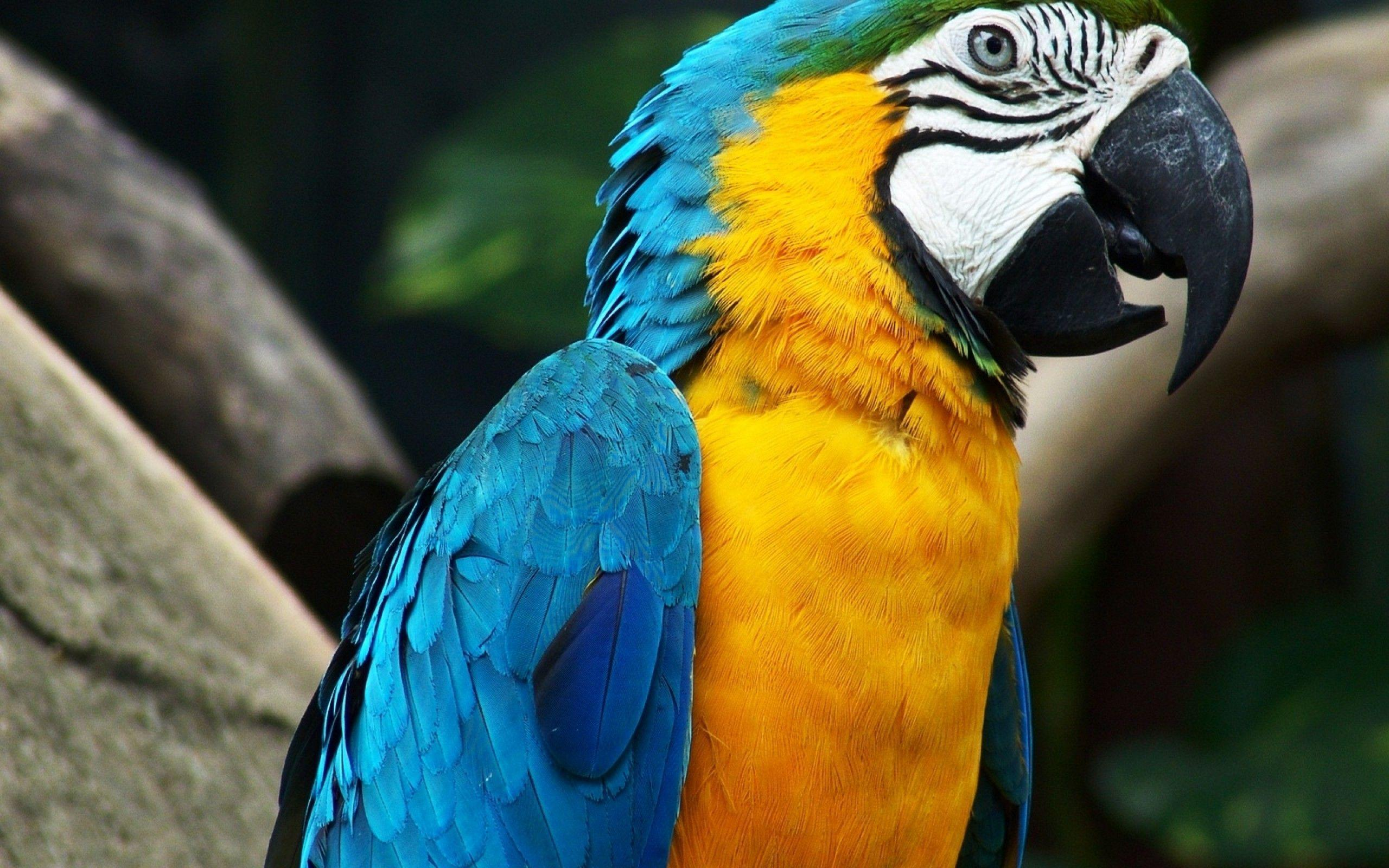 Blue-yellow Macaw Parrot Wallpaper - Download Wallpaper Nature Free