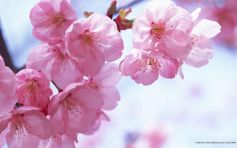 1440*900 Japanese Sakura wallpapers - Japanese Cherry Blossom ...