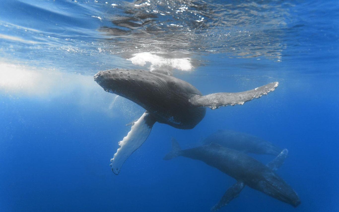 blue whale wallpapers wallpaper cave