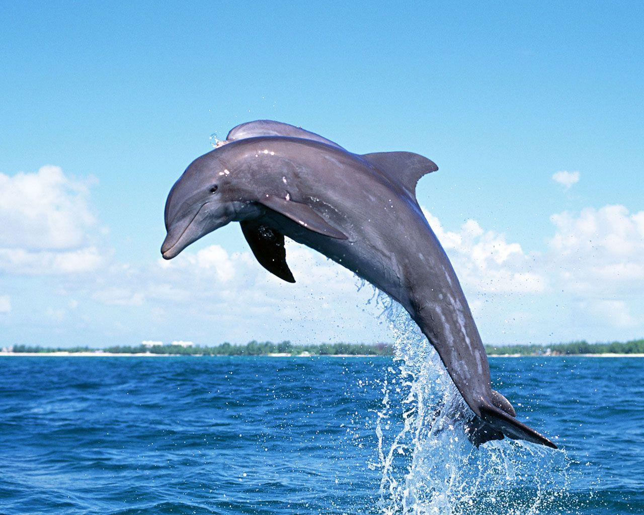 Dolphin Wallpaper | home plans