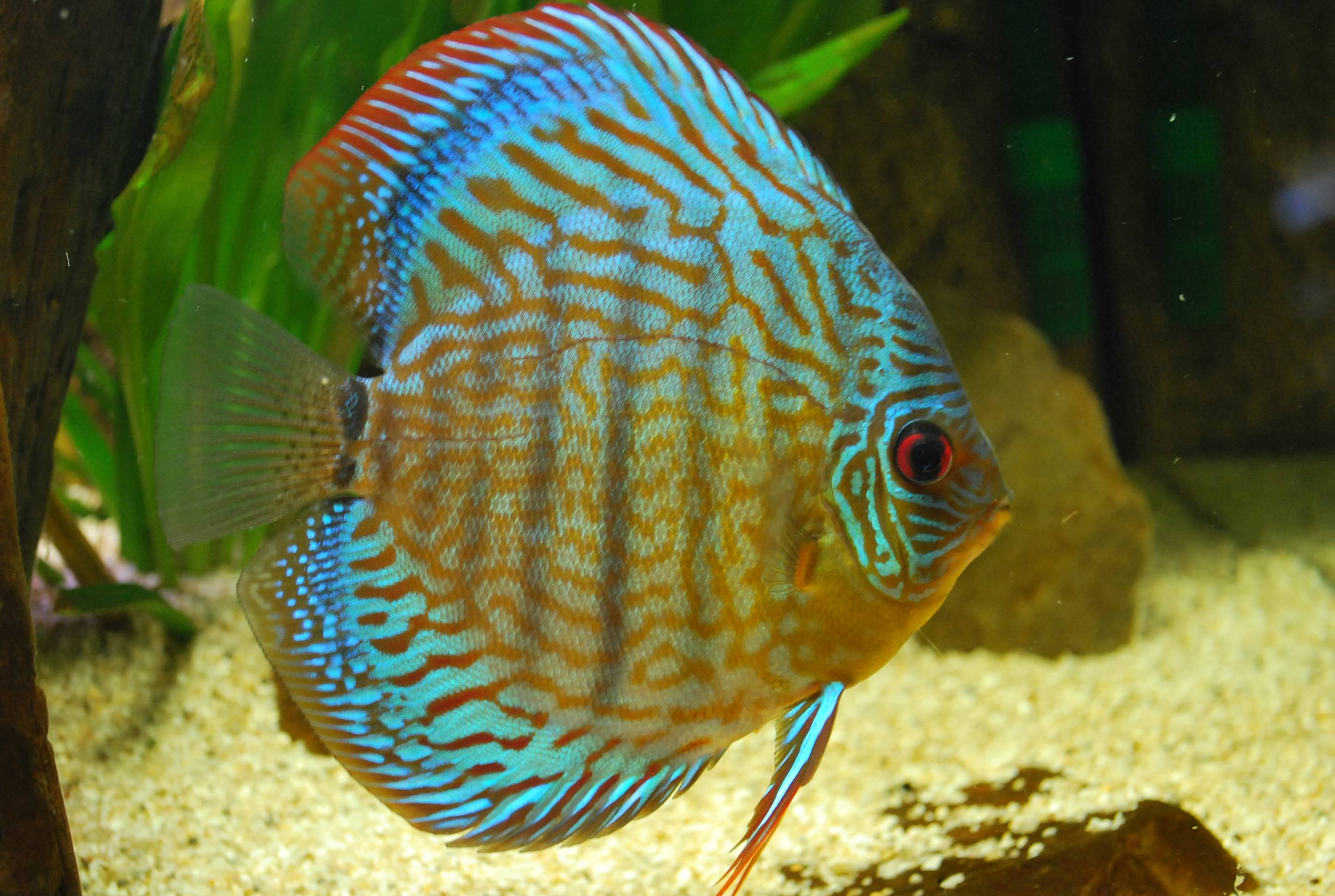 Discus fish wallpapers wallpaper cave for How to fresh water fish