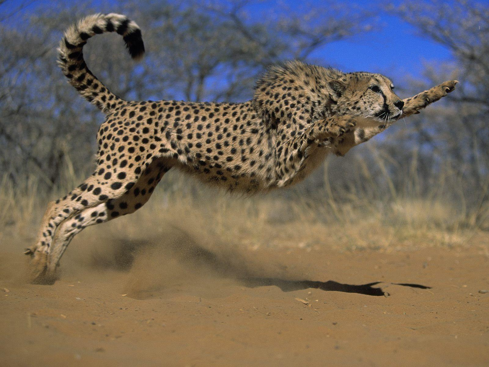 Page 68 | Cheetahdesktophdwallpaper hd wallpapers , Cheetah ...