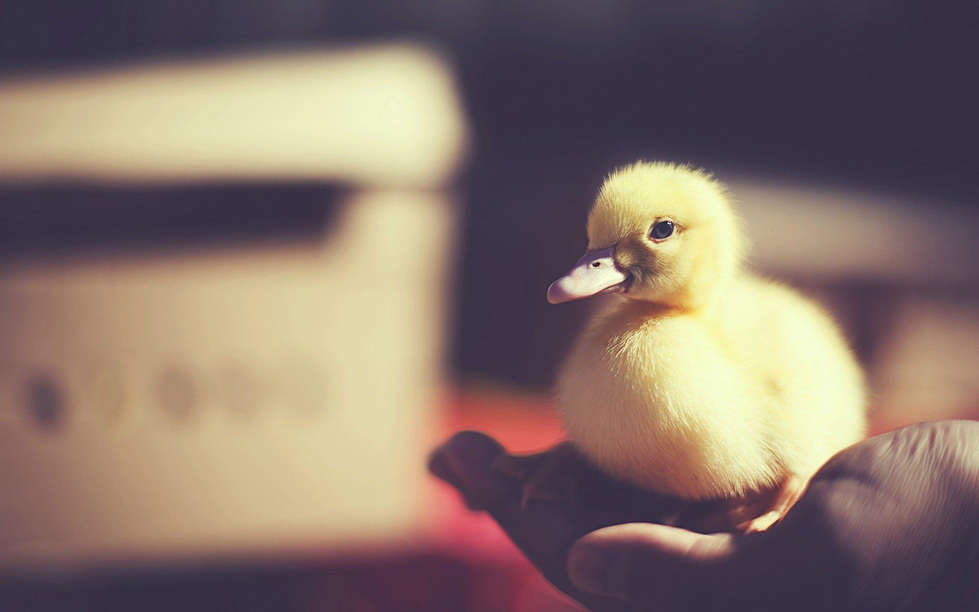 Baby Duck Wallpapers Wallpaper Cave