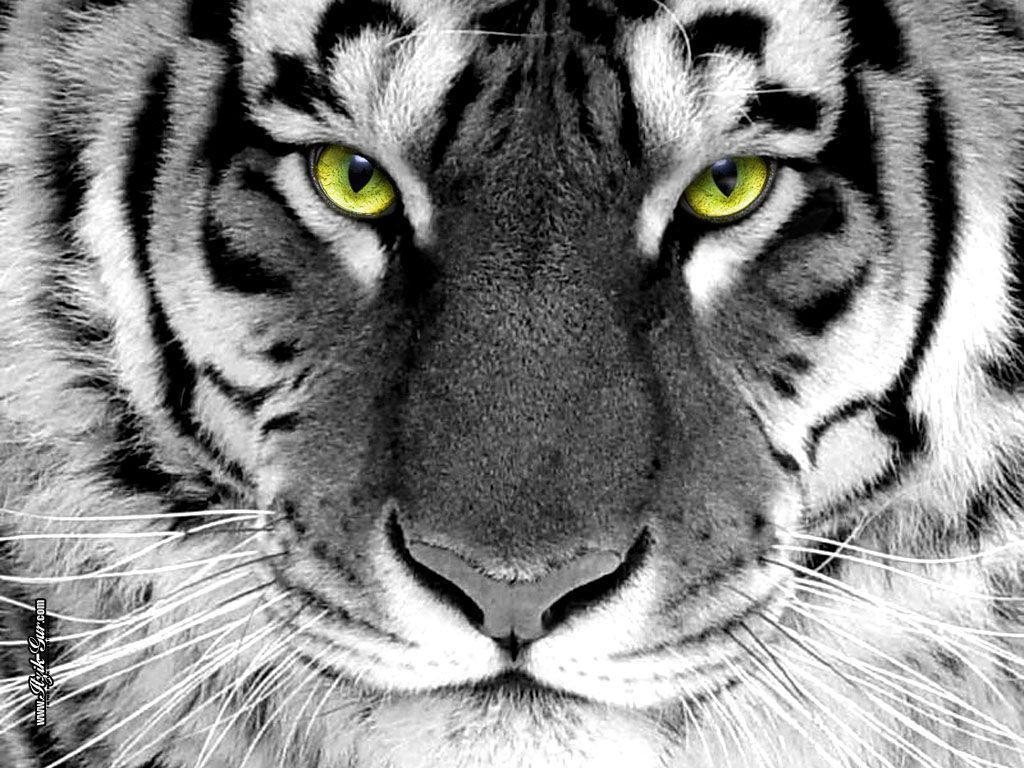 Tiger Wallpaper - Tigers Wallpaper (16120028) - Fanpop