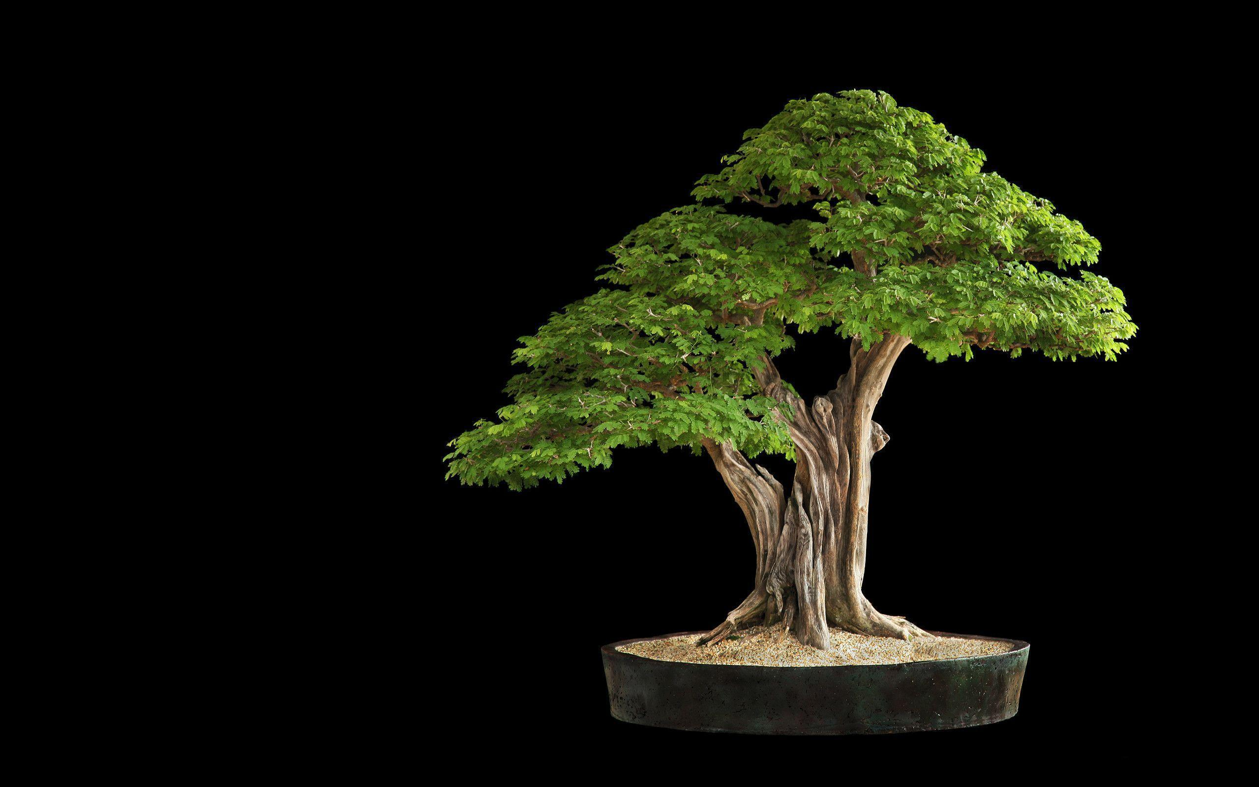 Tree Bonsai Tree leaves h wallpaper | 2560x1600 | 67912 | WallpaperUP