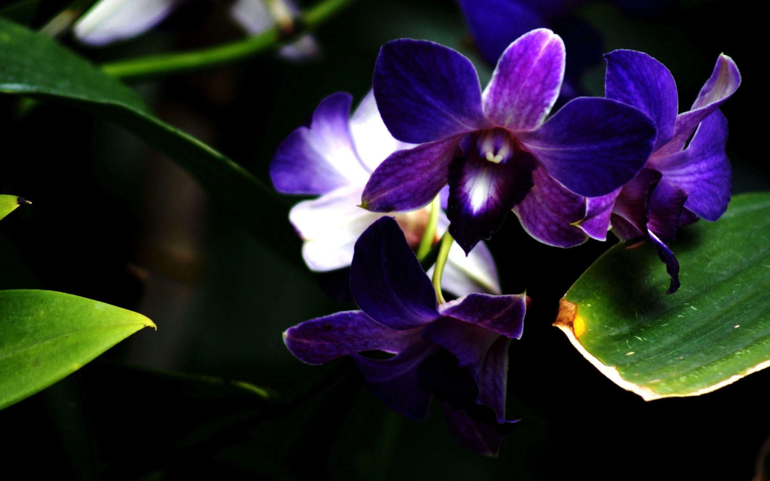 orchid flower wallpapers wallpaper cave