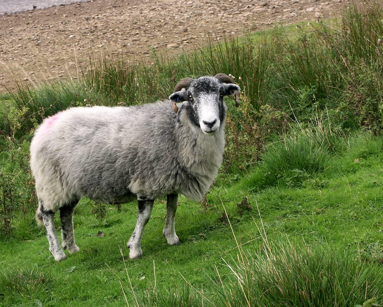 Картинки на овцу