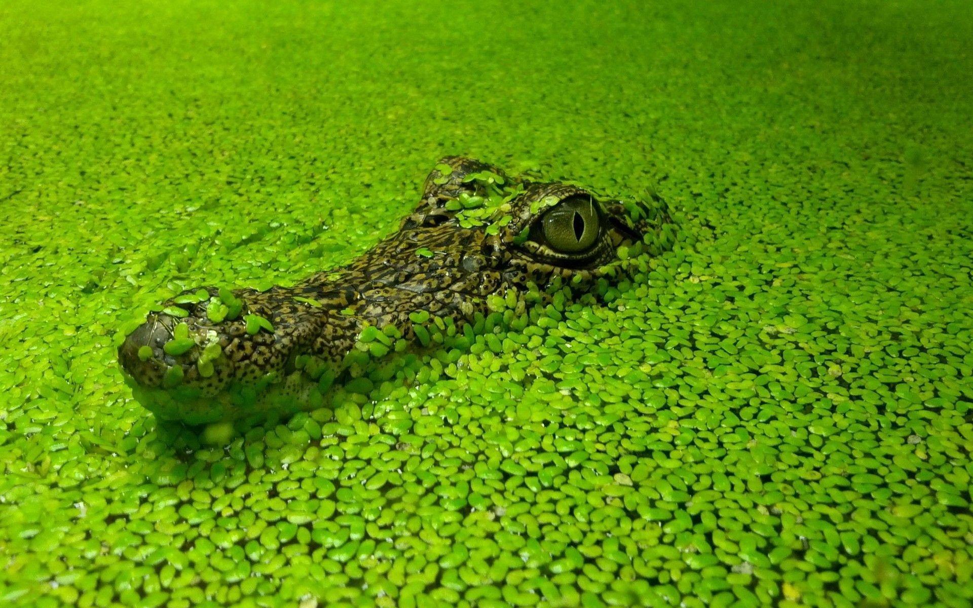 Alligator Wallpapers - Wallpaper Cave