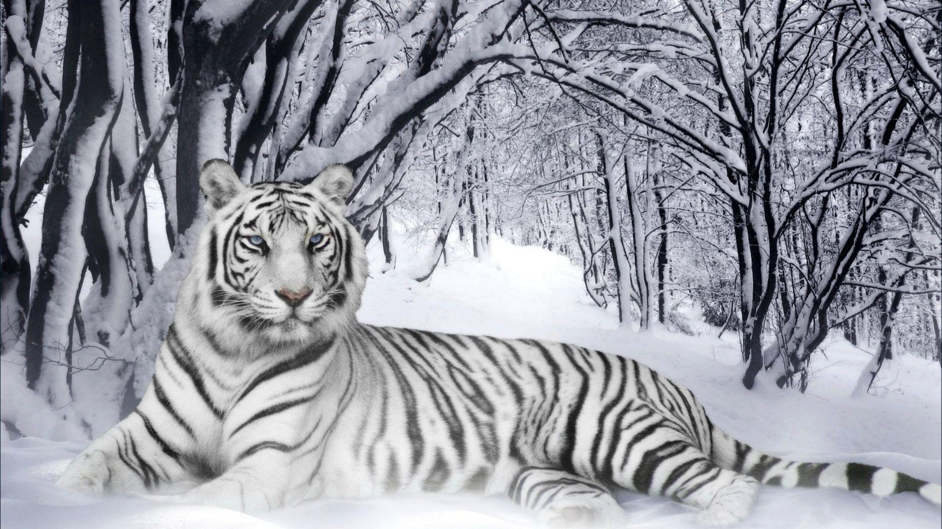 wallpaper hd white tiger - photo #10