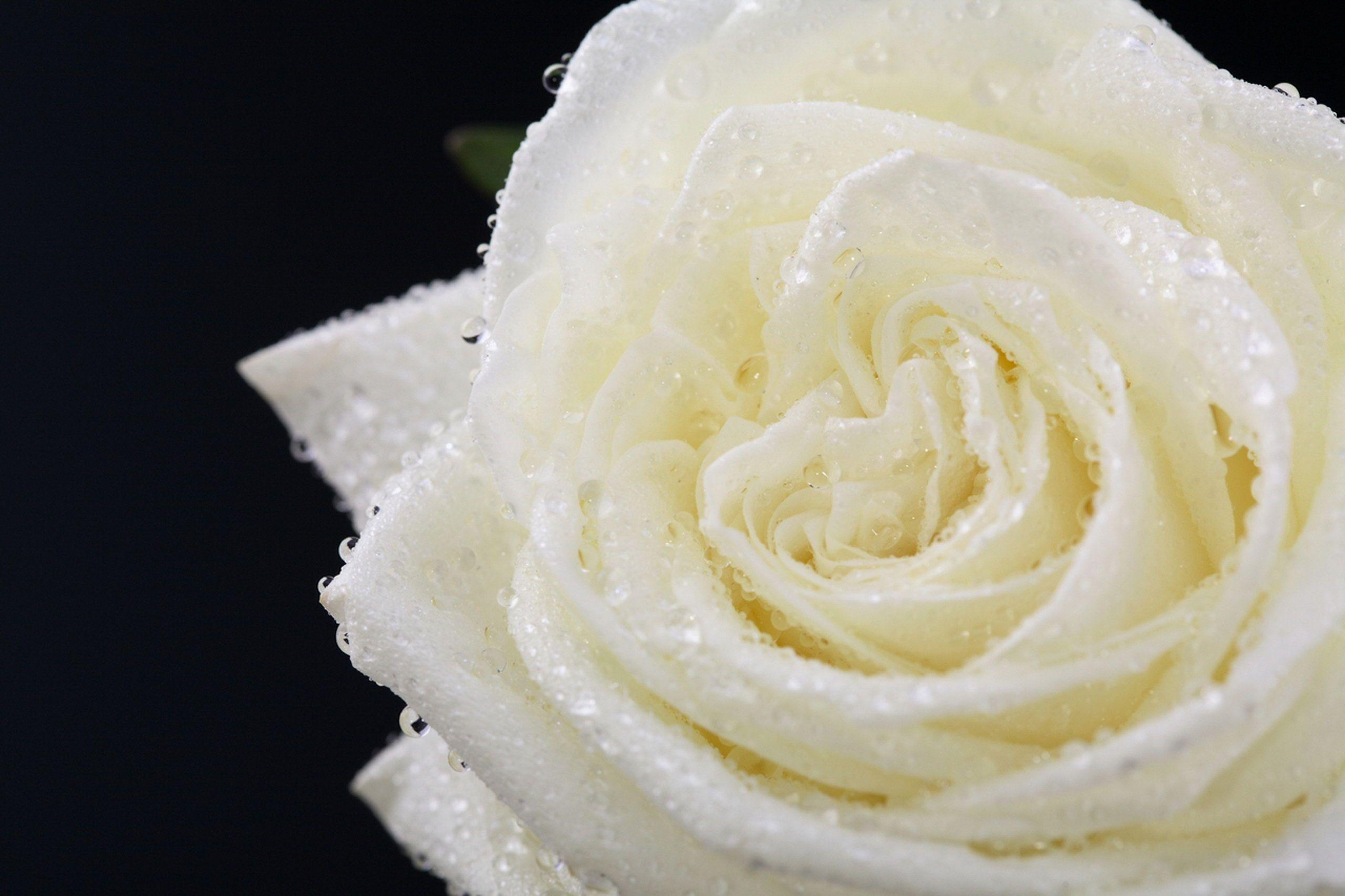 Pix For > White Rose Backgrounds