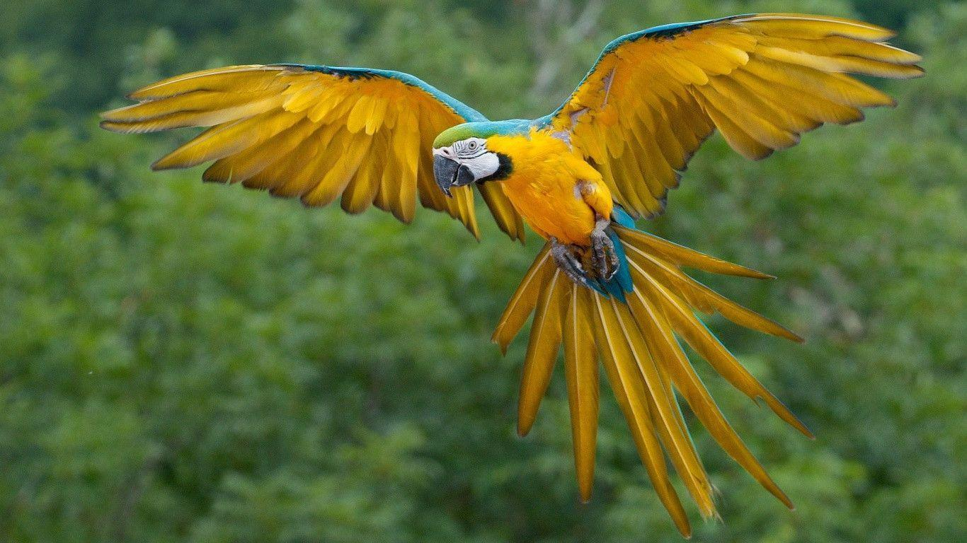 1366x768 Flying Macaw Parrot Wallpaper