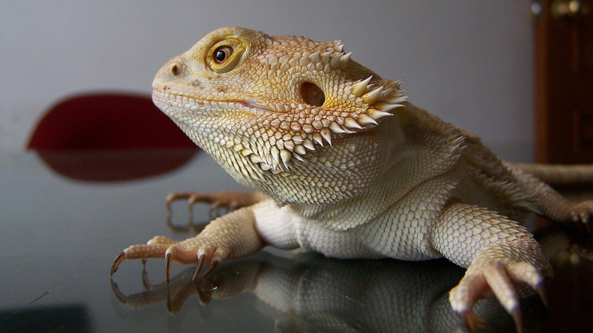 H D Reptiles Bearded Dragon Wallpap...