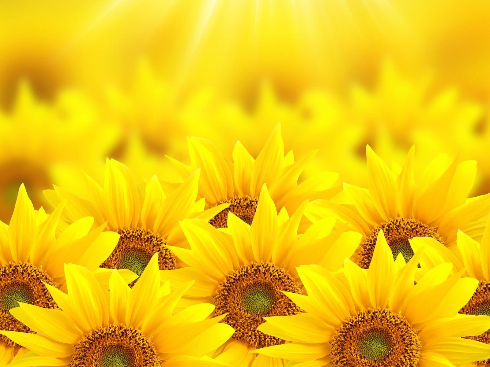 Sunflowers Wallpapers Wallpaper Cave