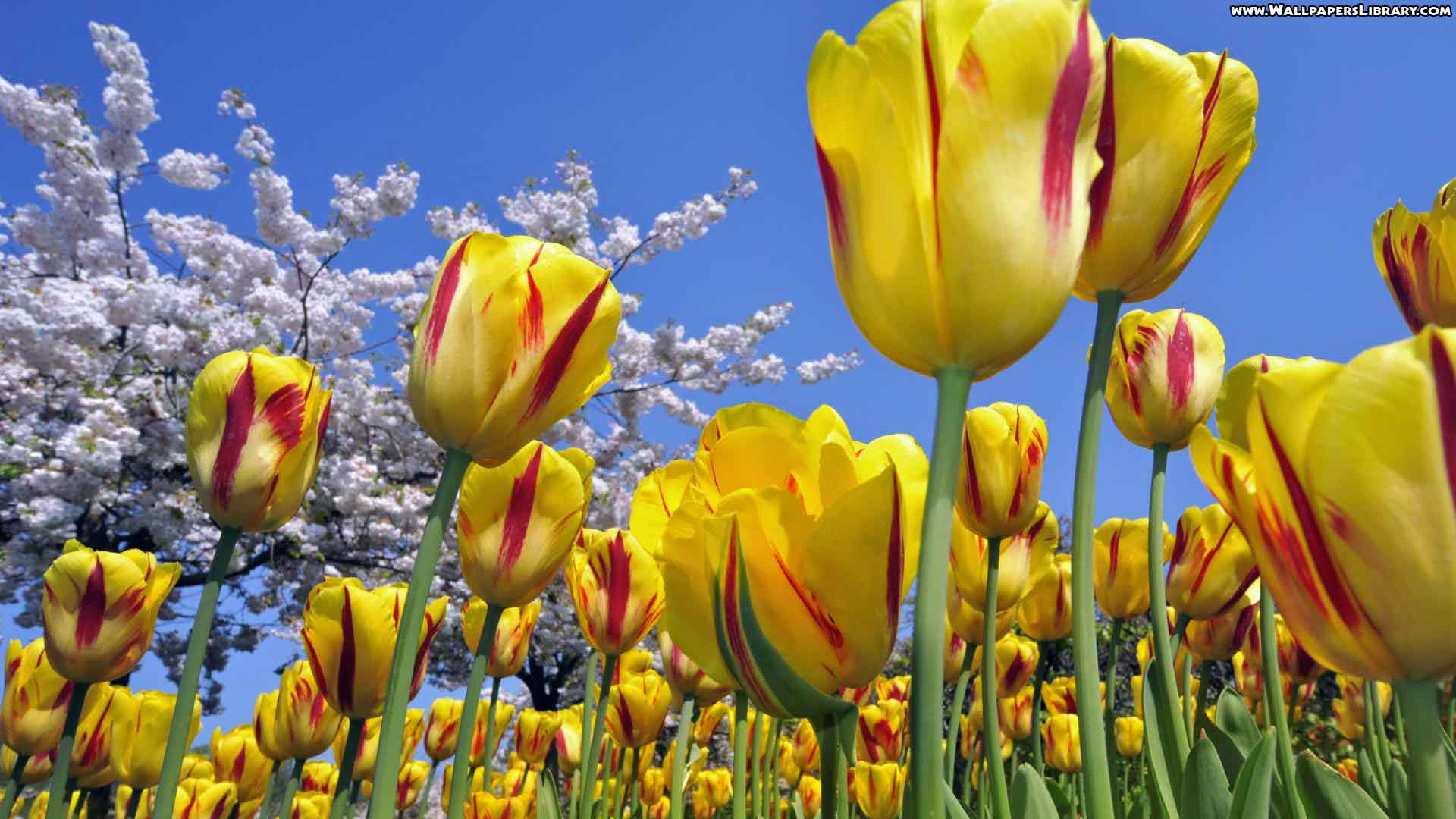 tulip flower desktop wallpapers free download tulip hd