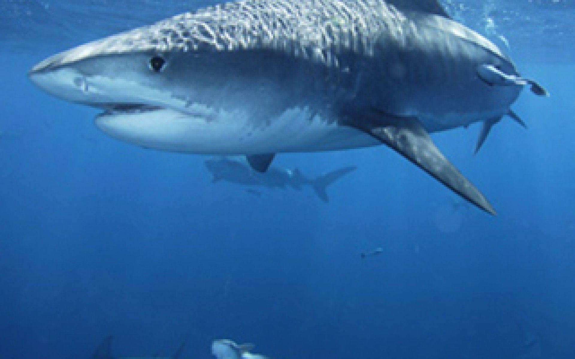 tiger shark 1280x800 - photo #2