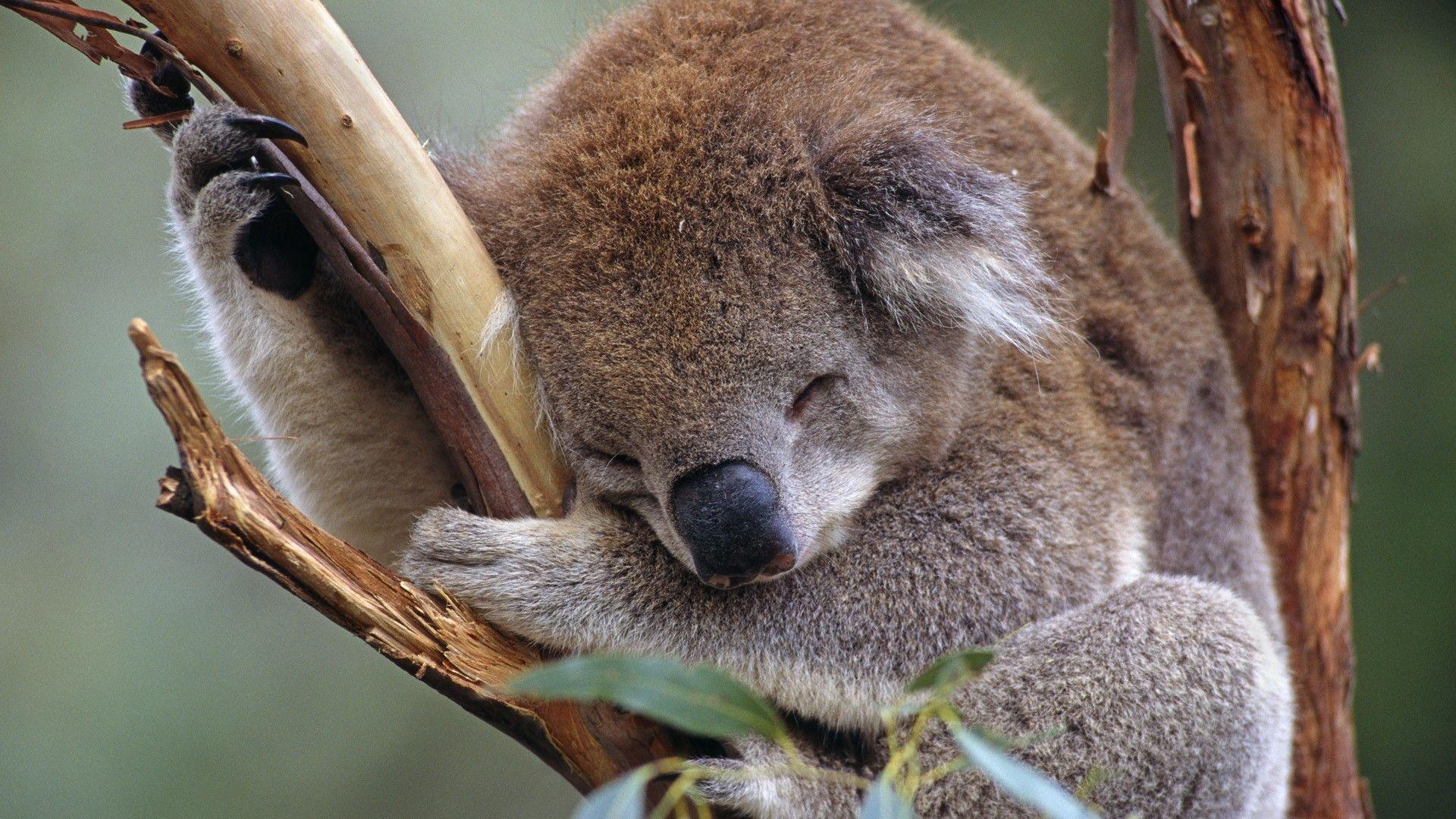 Wallpaper – Koala Cuteness | PicPetz