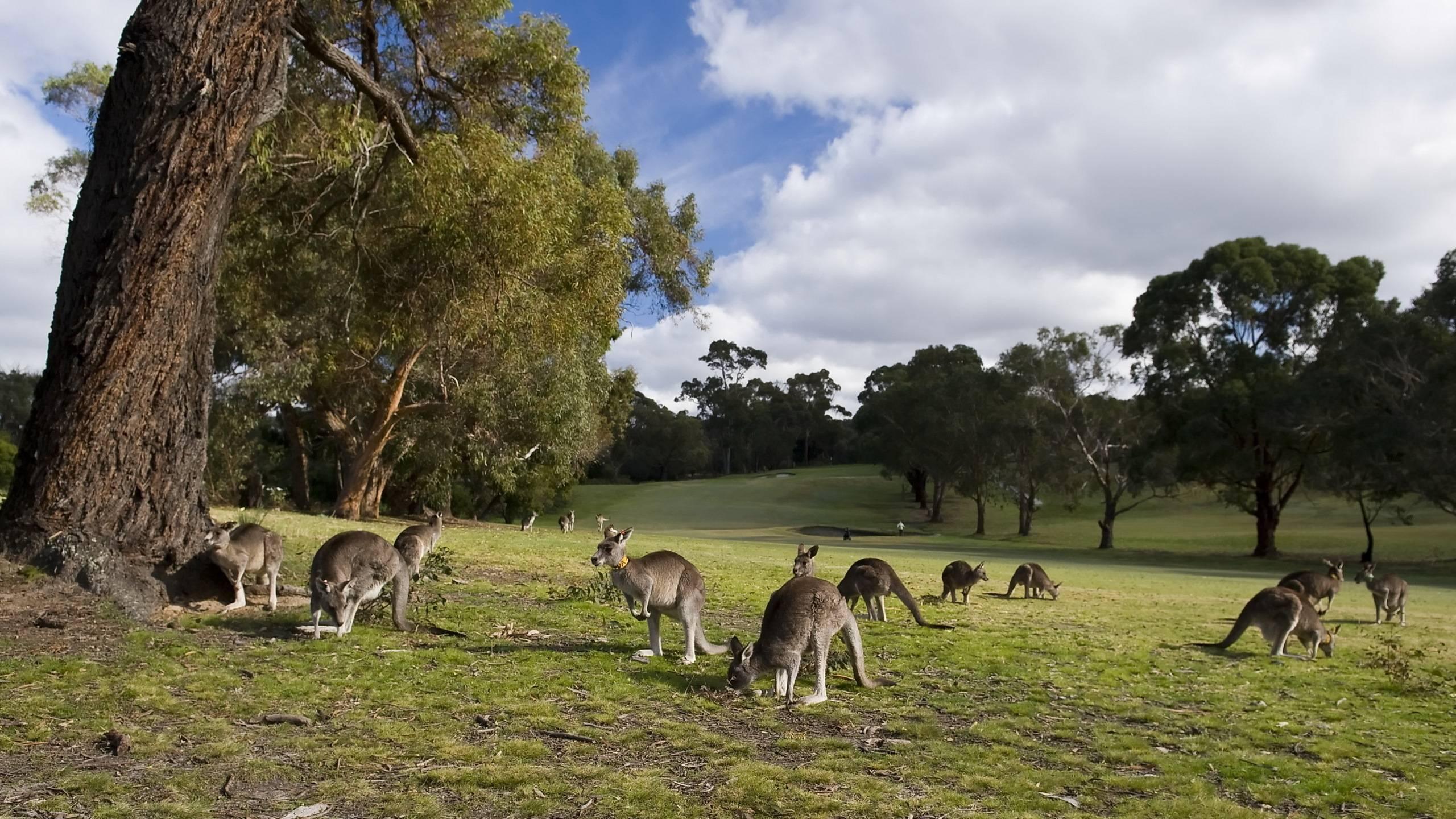 Kangaroo Eating Grass Wallpaper Computer | ardiwallpaper.