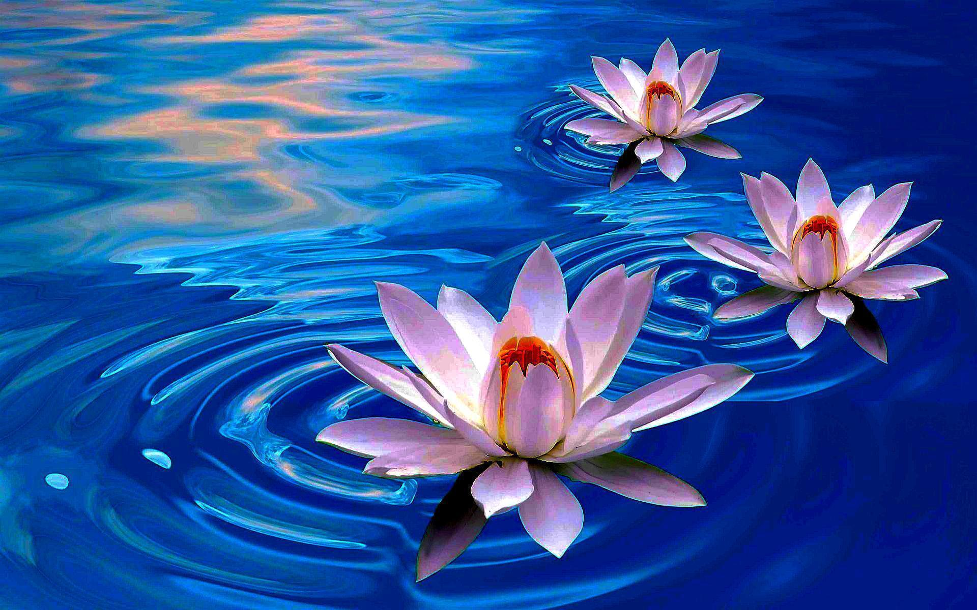 lotus flowers wallpapers wallpaper cave