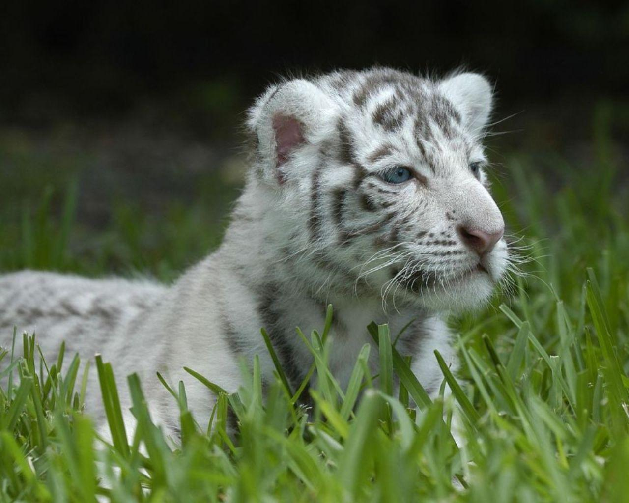 baby white tiger - HD1280×1024