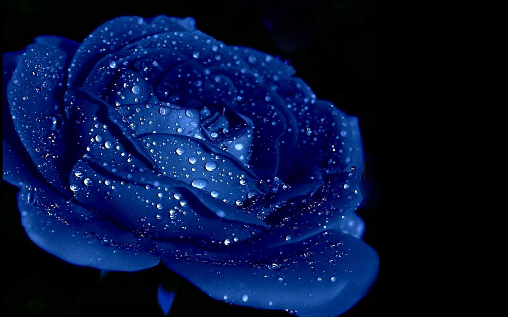 Blue rose backgrounds wallpaper cave - Samsung rose wallpaper ...
