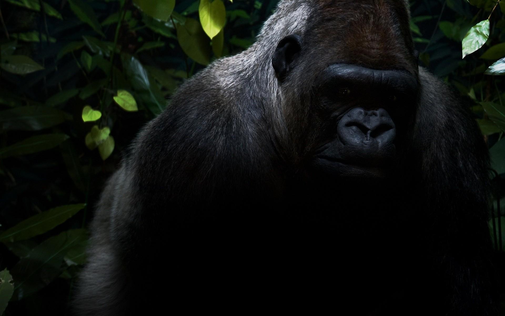 Gorilla wallpaper hd - photo#3