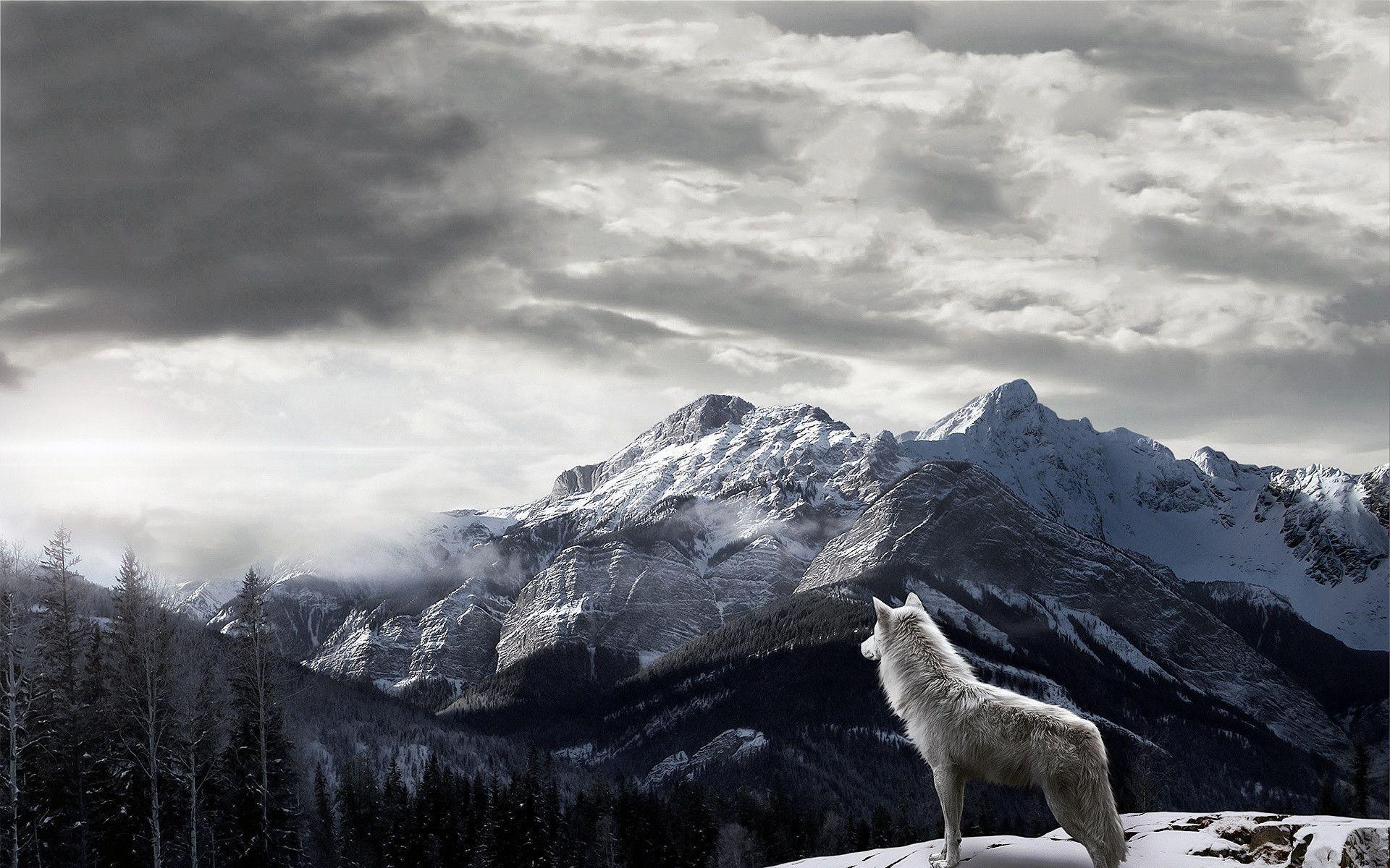 Gray Wolf Wallpapers Wallpaper Cave