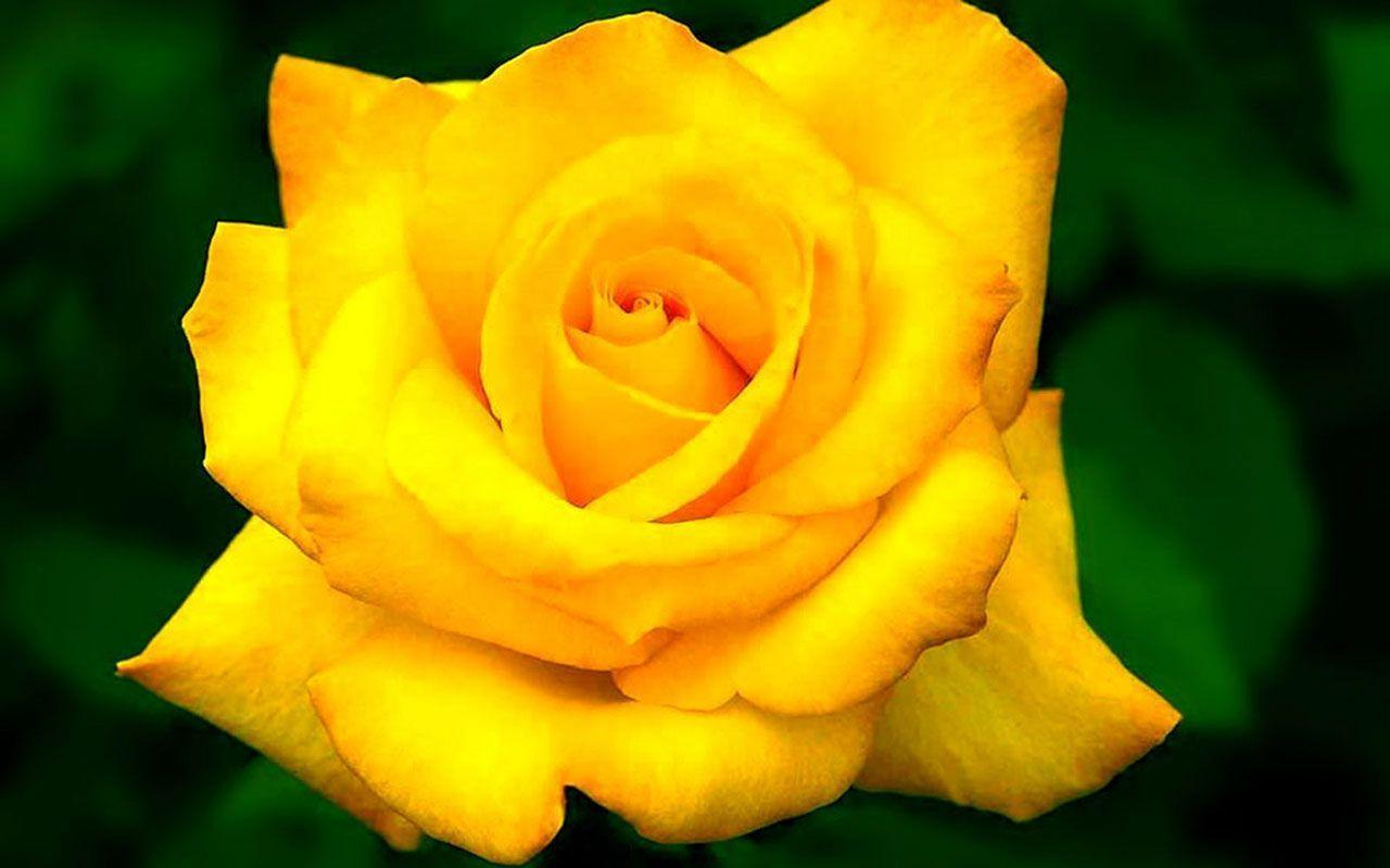Yellow rose flower wallpapers wallpaper cave wallpapers for single yellow rose wallpaper mightylinksfo
