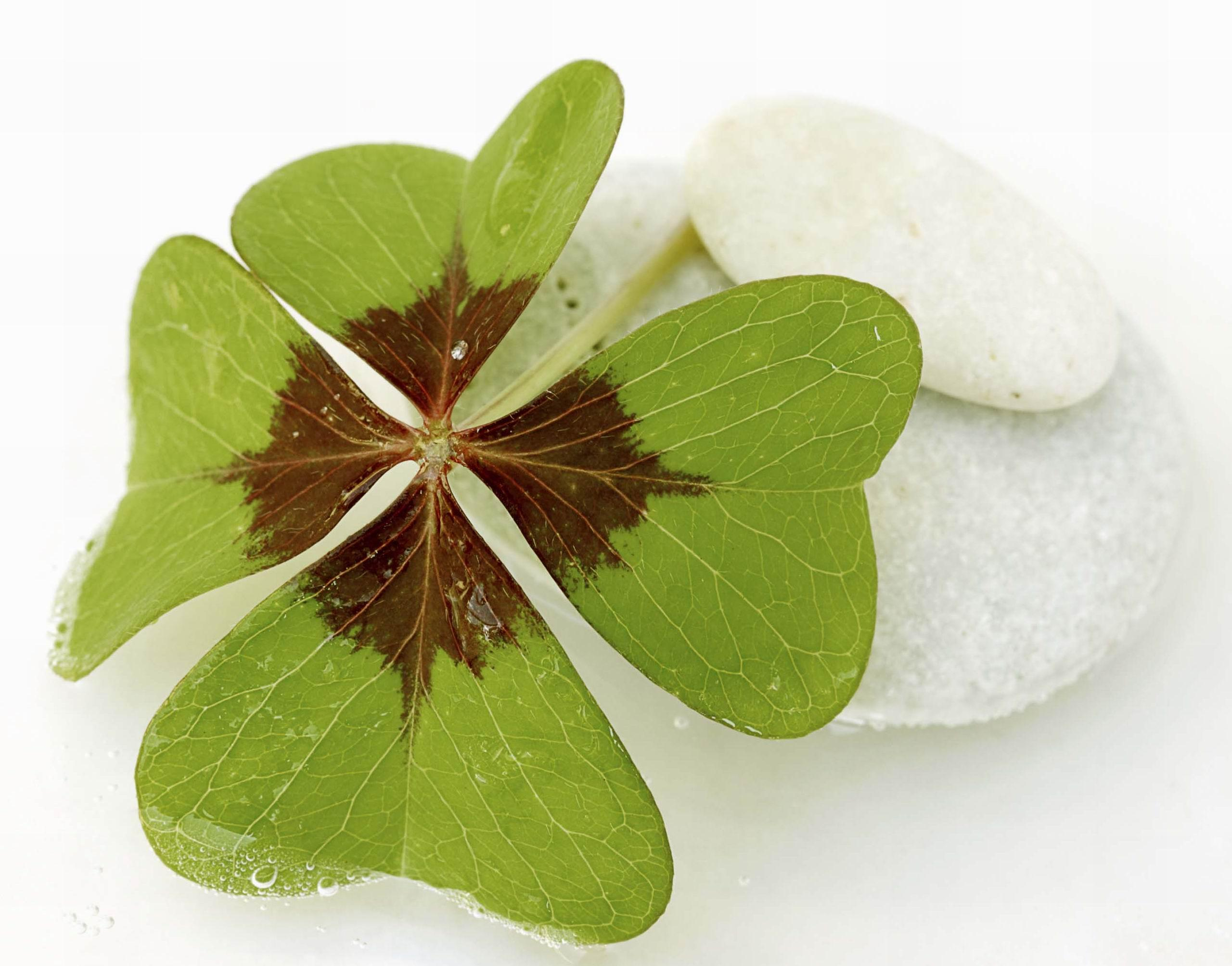 Four leaf clover, St. Patricks Day, Holiday