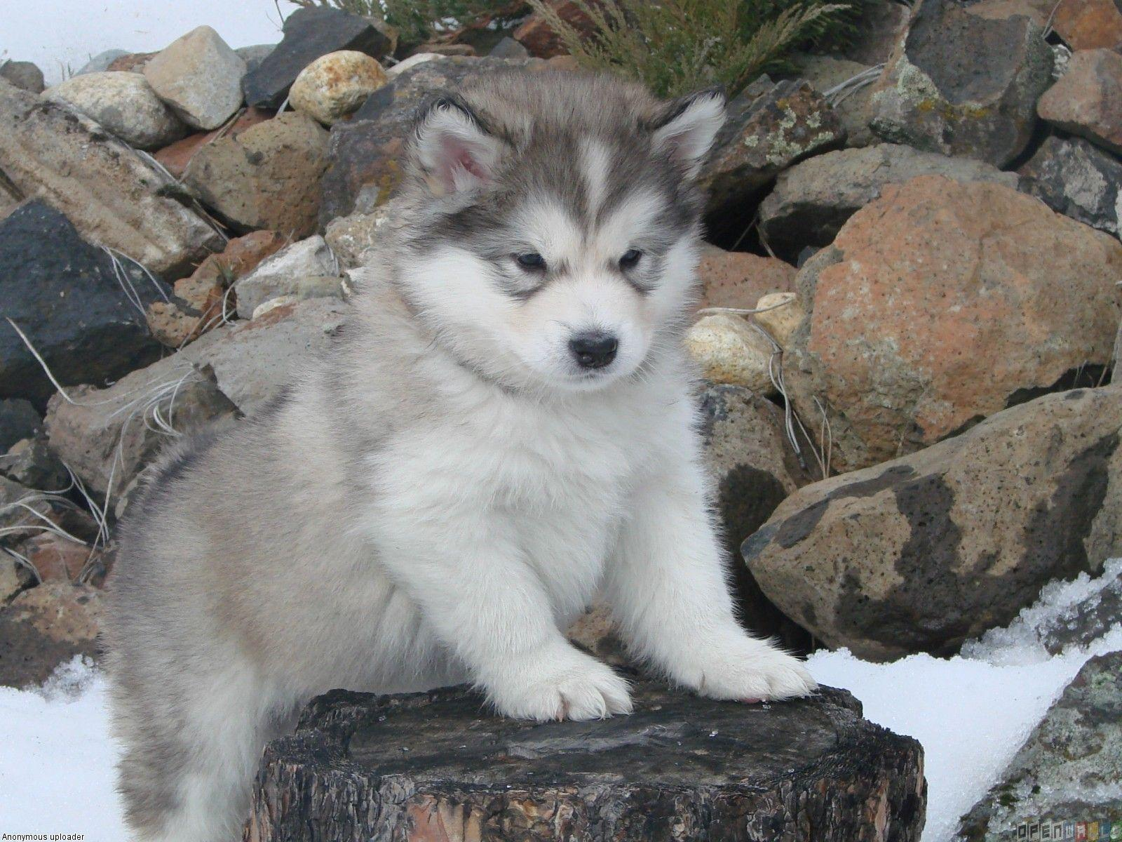 Related Pictures Alaskan Malamute Puppies Wallpaper Hd Lowrider ...
