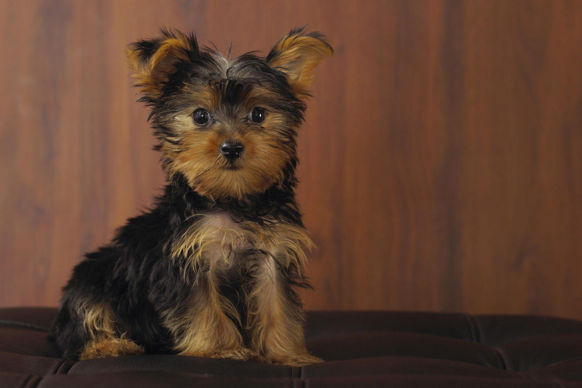 Yorkshire Terrier HD Wallpapers - HD Wallpapers Inn