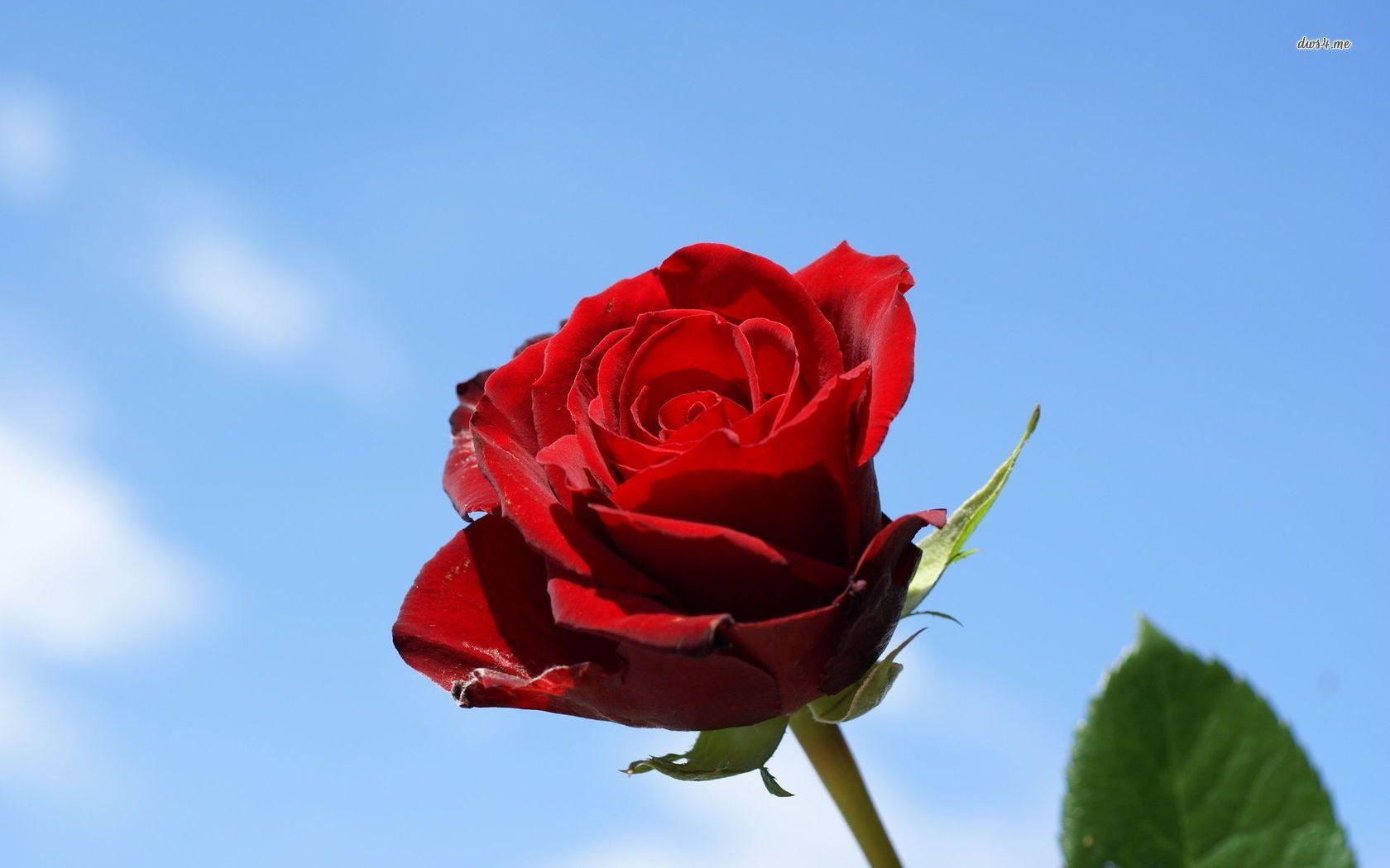 Single Rose Wallpapers: Red Rose Flowers Wallpapers