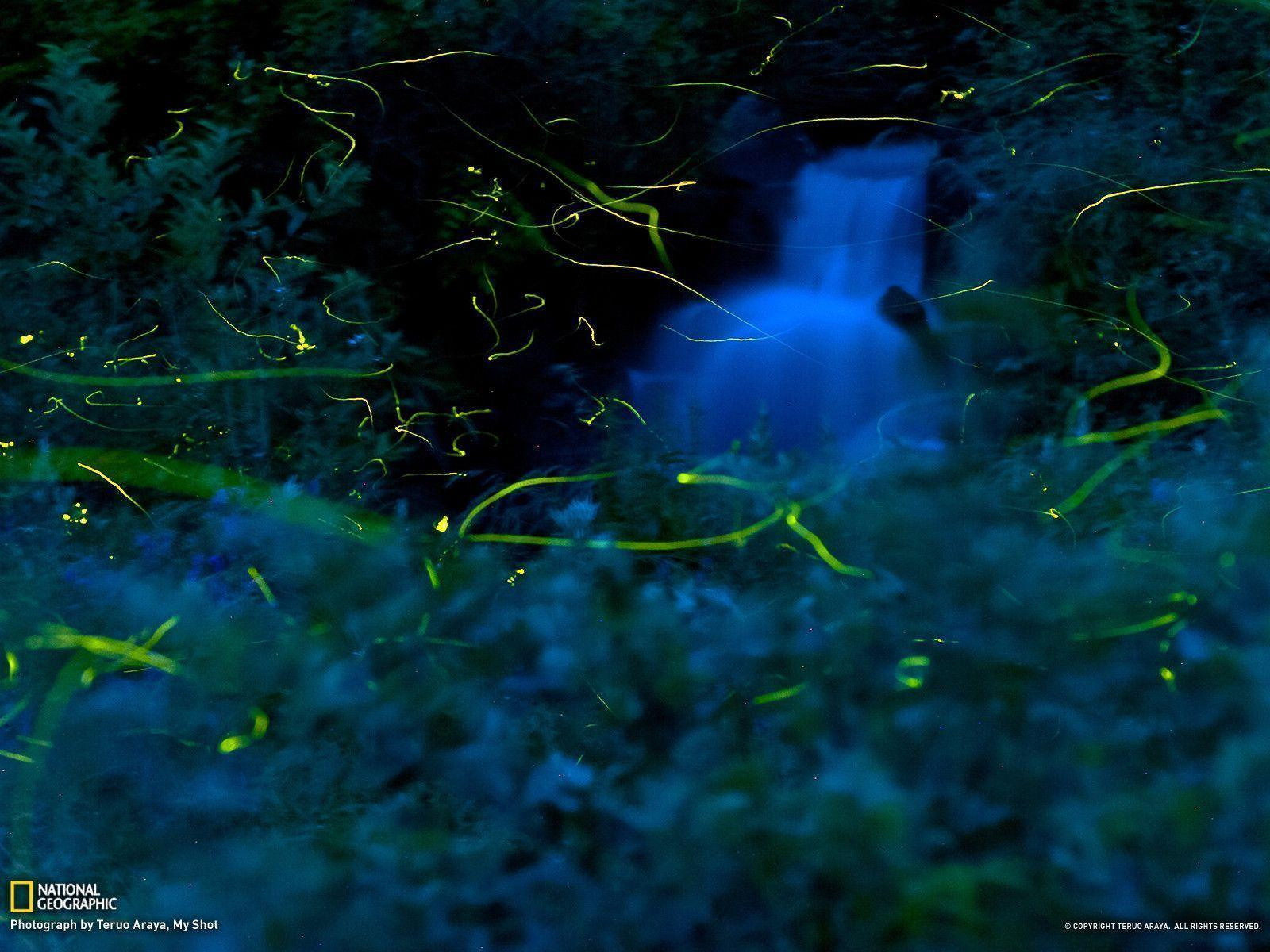 Firefly Picture -- Nature Wallpaper -- National Geographic Photo ...