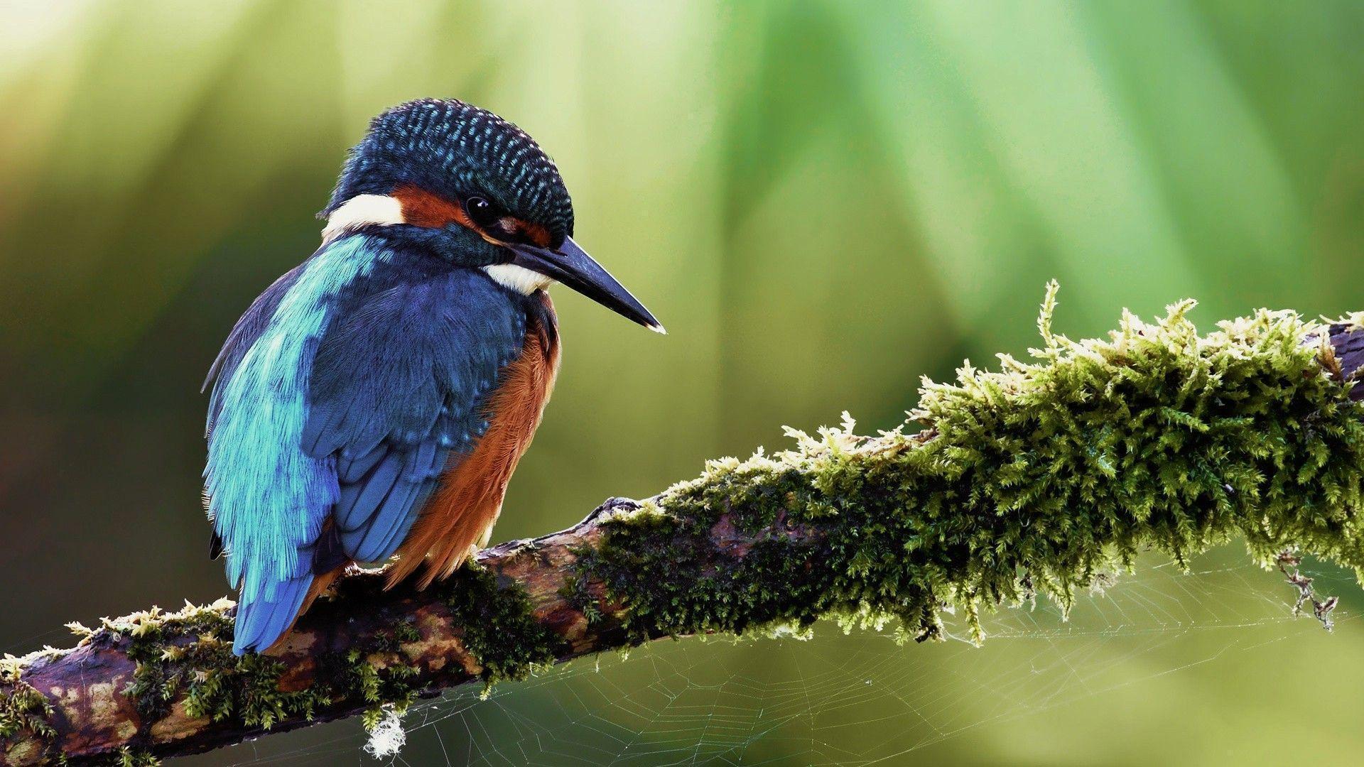 kingfisher wallpapers hd - photo #2