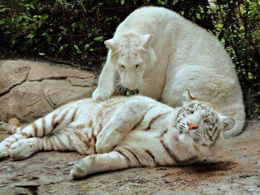 Wallpapers For White Lion And Tiger Wallpaper