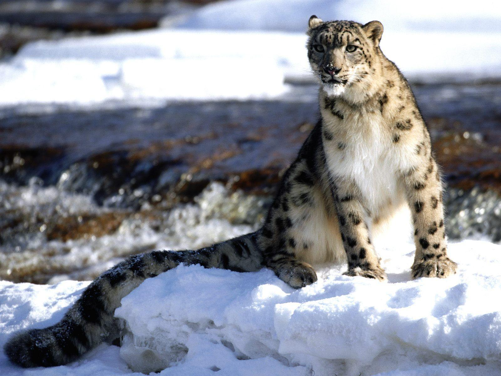 Wallpapers For Baby Snow Leopard Wallpaper