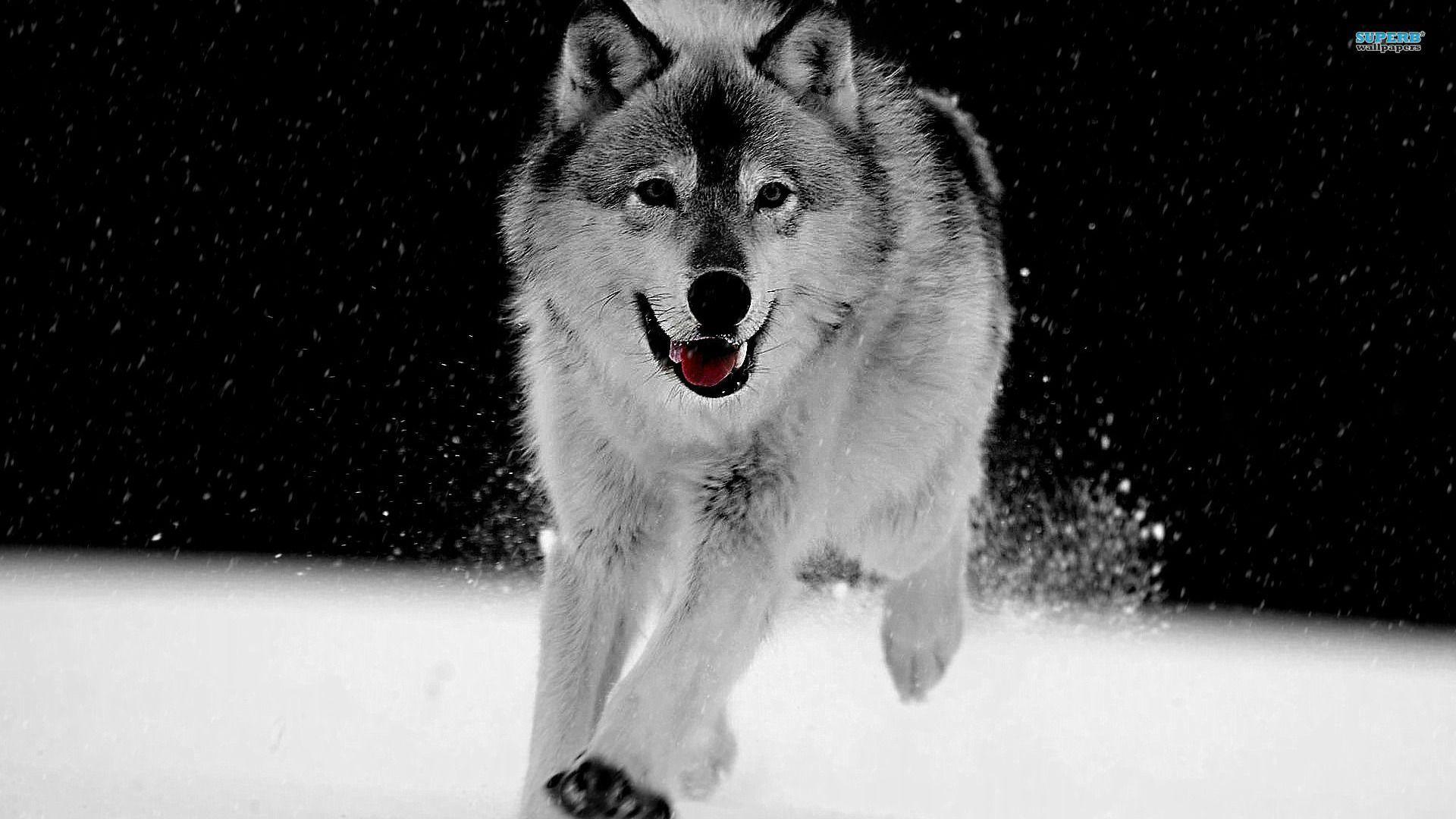 Wolf Desktop Wallpapers Top Free Wolf Desktop Backgrounds