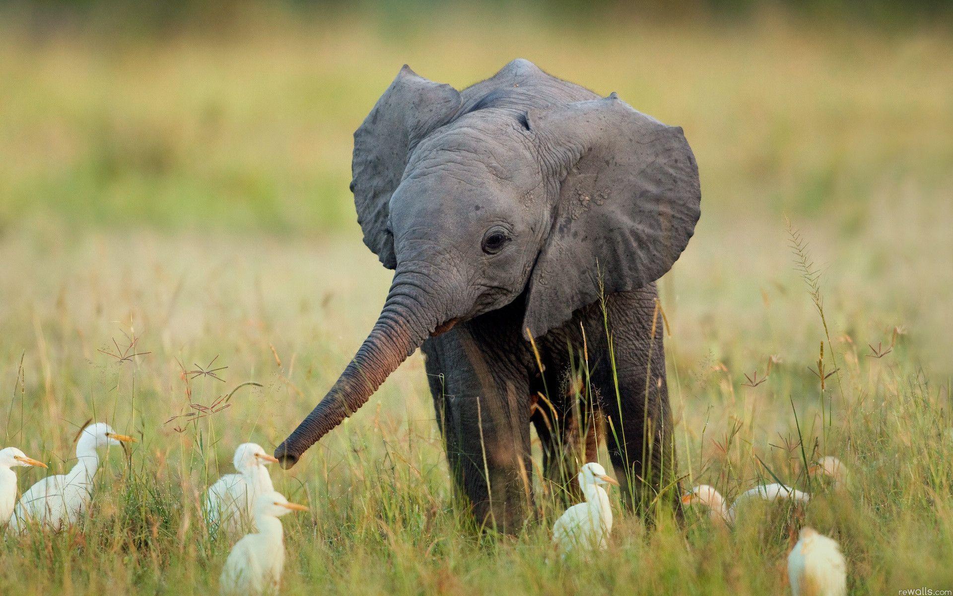 Download Elephant Birds Nature Desktop Wallpaper