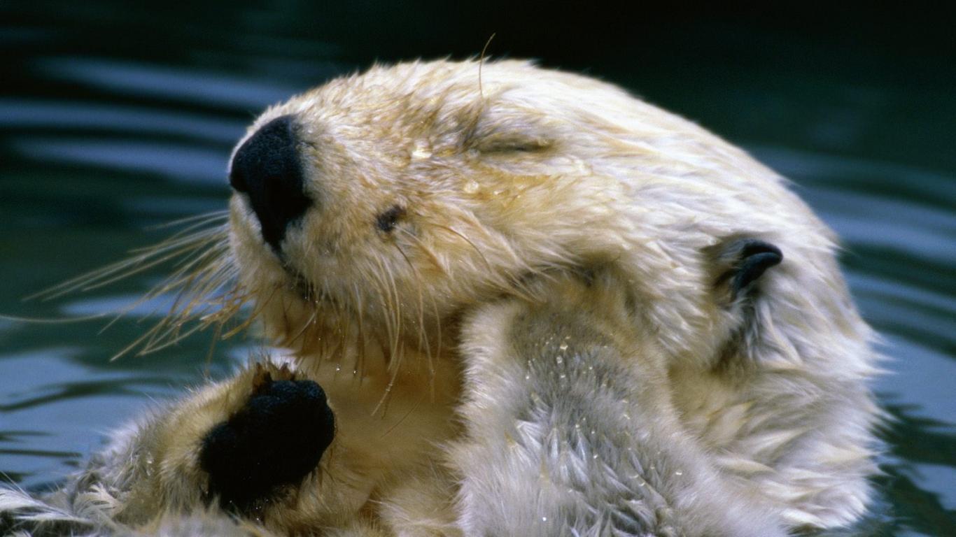 Sea-Otter-Wallpaper-8 - Animals Planent.