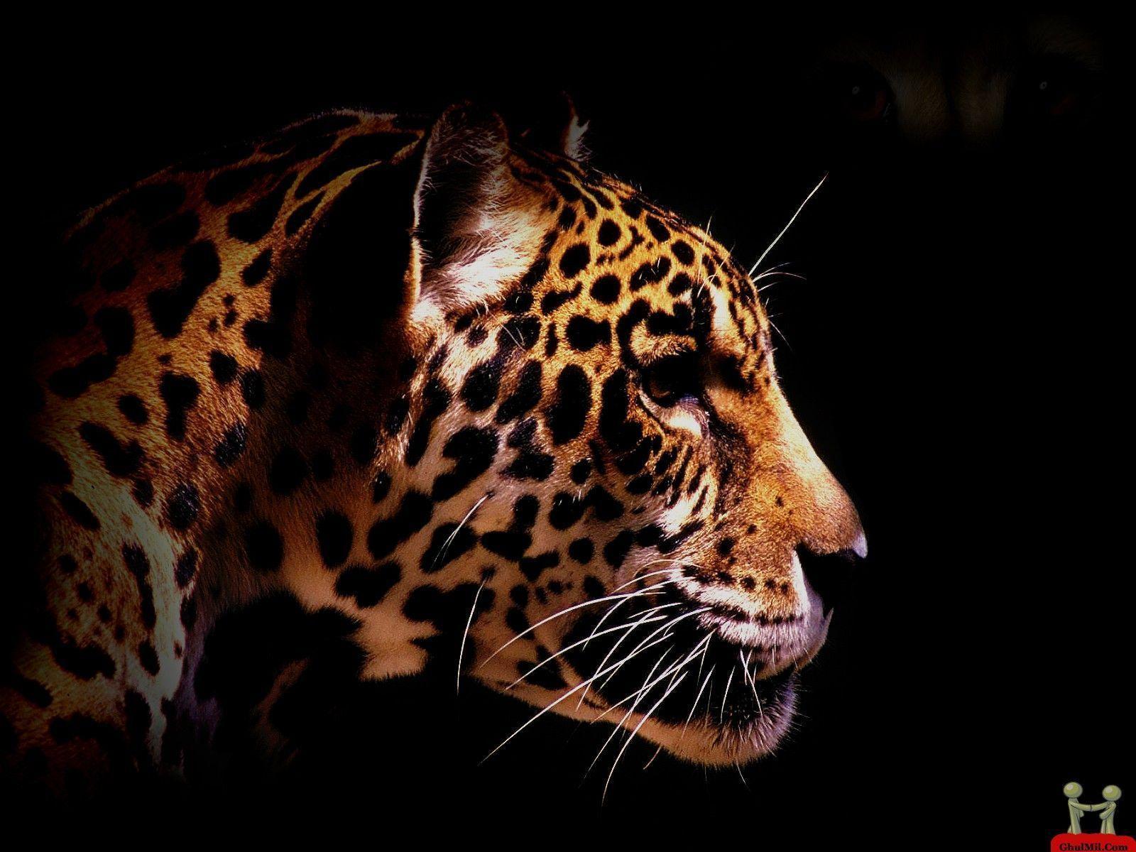 Wallpaper Cheetah Pair Hd Animals 6057: Cheetah Wallpapers HD
