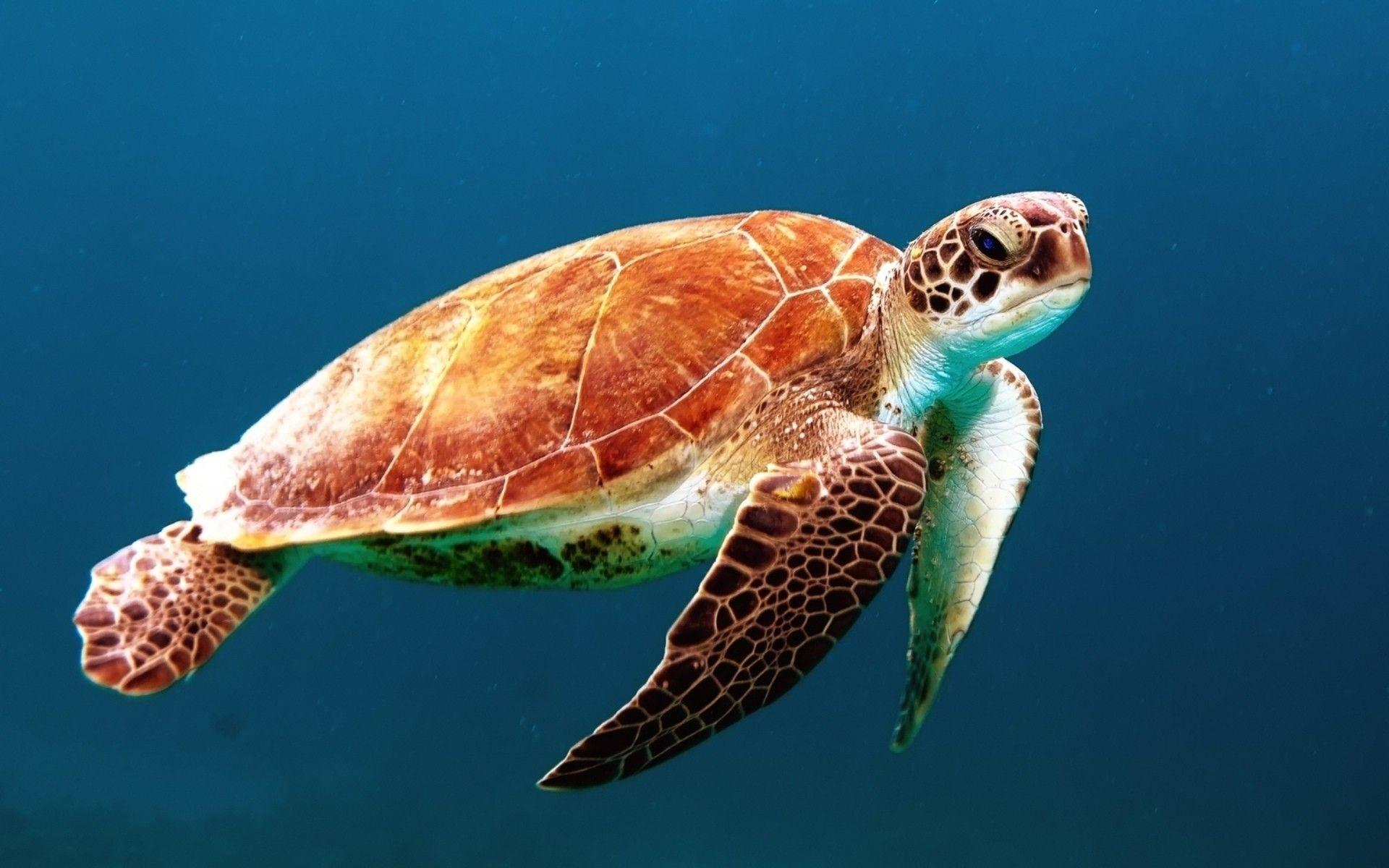 Sea Turtle Download Full HD Dekstop Wallpapers Wallpapers