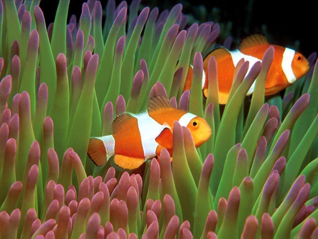 Pair Clown Fish Green Anemone Wallpapers 1024×768